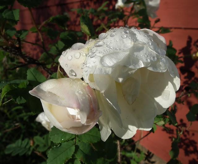 Juhannusruusu, kaste, ruusu, pisarat