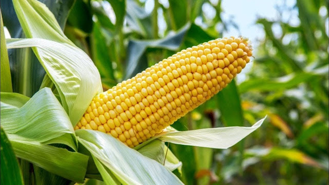 Guide On How To Venture Into Maize Farming Business In Nigeria