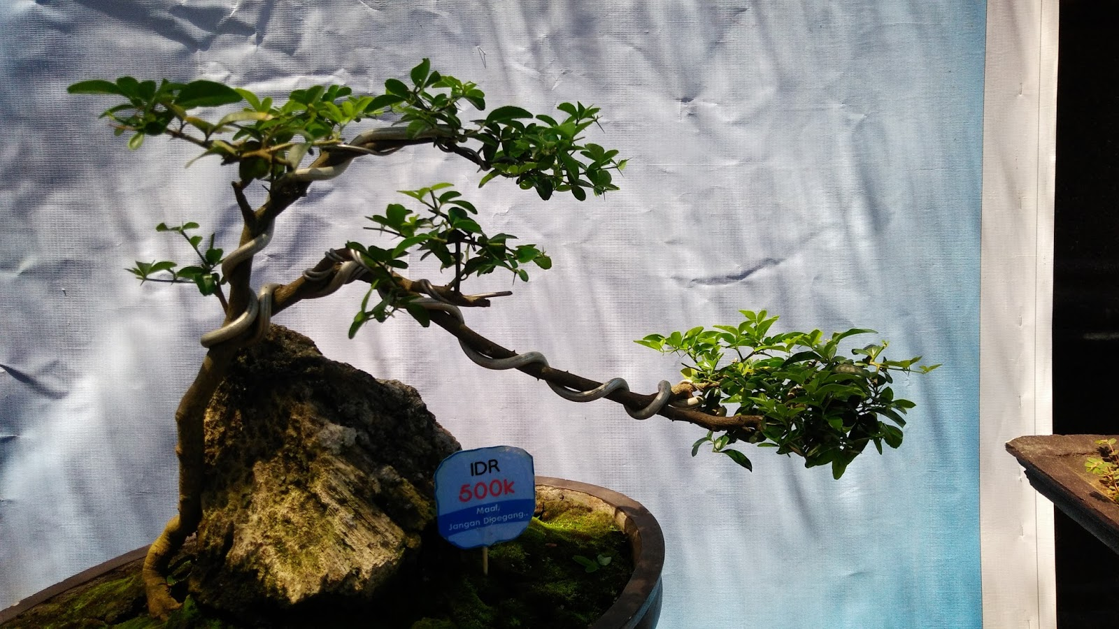 Pot Pohon Tips & Trick Membuat Bonsai Air Terjun (cascade) Cantik
