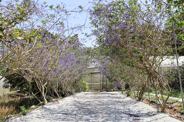 南投埔里南平山道田生態有機農場紫色許願藤隧道好夢幻,鎮山宮前