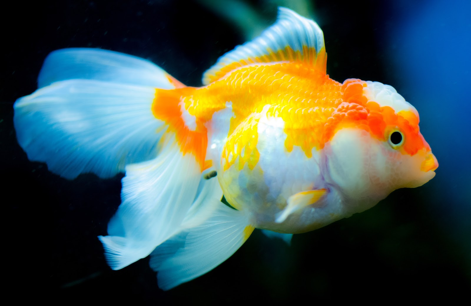 orange-and-white-fish-images