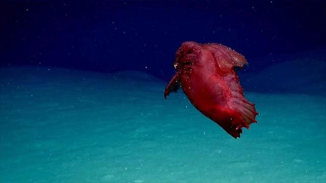 Κινηματογραφήθηκε για πρώτη φορά το θαλάσσιο «ακέφαλο κοτόπουλο τέρας» (βίντεο)