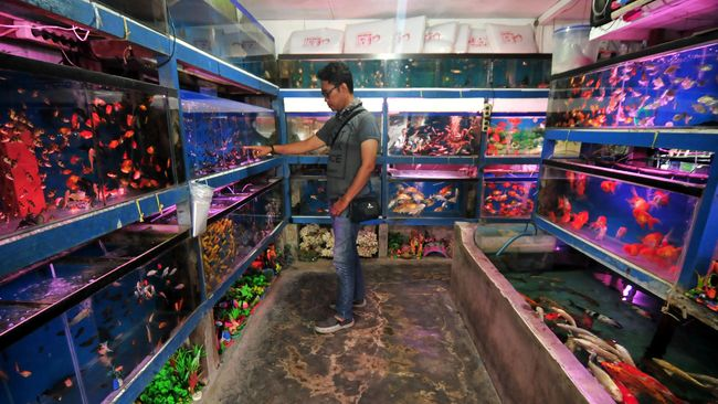 Promosi Produk Hasil Usaha Pembenihan Ikan Hias Tujuan Starategi Fungsi Dan Cara Promosi