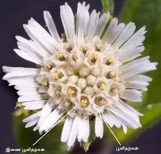 False Daisy  flower fullsize