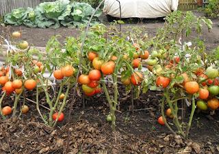 Безрассадные помидоры в сентябре поспевают на корню