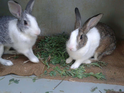nice-lovely-cuty-rabbits-animal