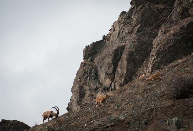 Ibexes in Dizin, Iran