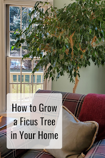 It's easy to grow a ficus tree in your home.  My 34 years with my tree is the proof.