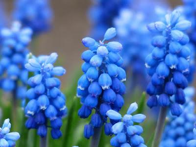 Flores de muscari