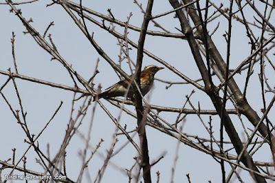 Tord ala-roig (Turdus iliacus)