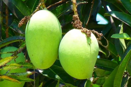 Ινδία: Φύτεψαν κατά λάθος τα ακριβότερα μάνγκο στον κόσμο και τώρα τα προστατεύουν σεκιούριτι