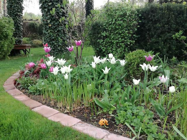 rabata z tulipanami