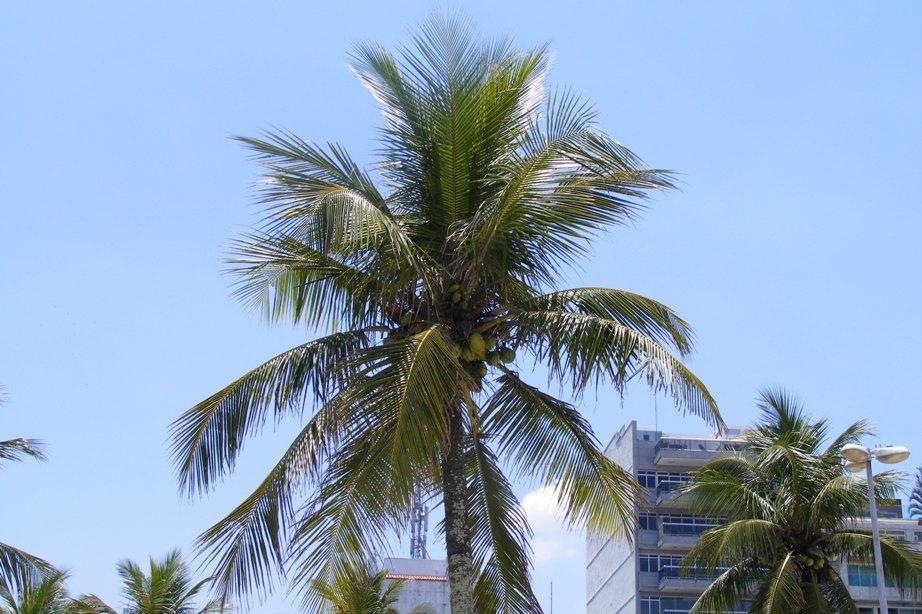 Palmier, nuca de cocos