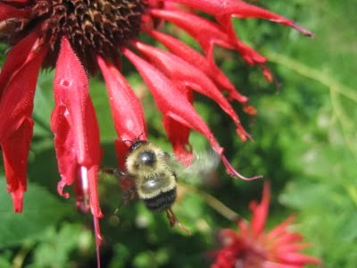 Bee landing on red monarda flower