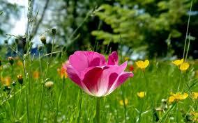 basit, kır çiçeği gibidir