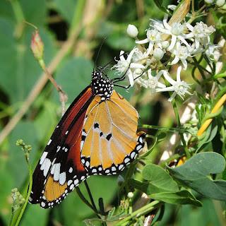 Mariposa tigre (Danaus chrysippus) libando de matacan (Cynanchum acutum)