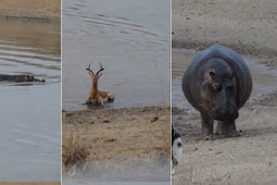 Malang, Impala Ini Dikejar Anjing Liar, Kuda Nil dan Buaya