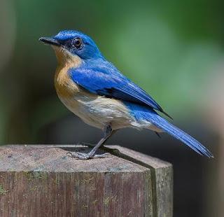 Burung Sikatan Melayu