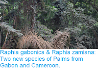 https://sciencythoughts.blogspot.com/2018/11/raphia-gabonica-raphia-zamiana-two-new.html