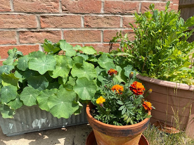 Flowering marigolds, nasturtiums and poppies in pots in garden