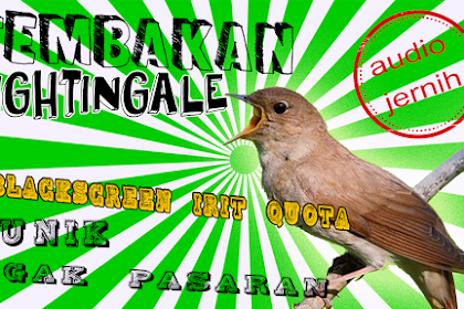 Nightingale Gacor Jernih Nembak Panjang Unik gak Pasaran