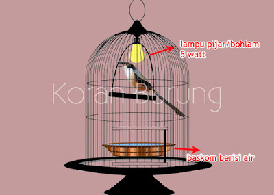 Mabung yakni siklus wajib yang harus dilewati burung Perawatan Mengatasi Pentet / Cendet Macet Mabung - Ngurak