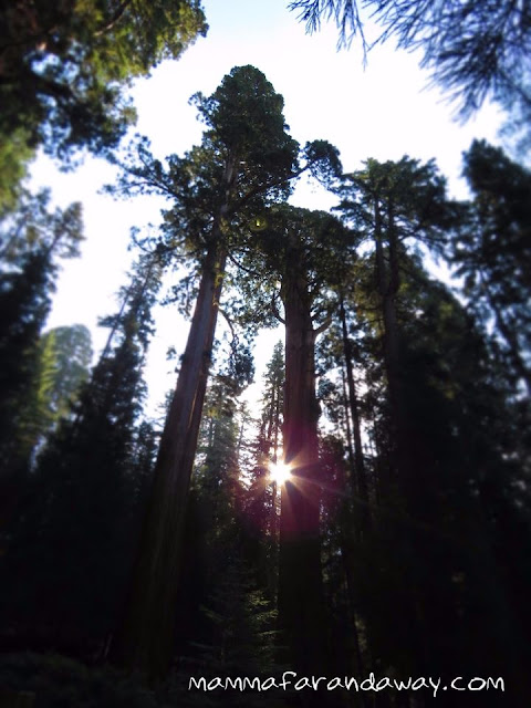 sequoie giganti