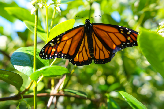 male monarch butterfly spots