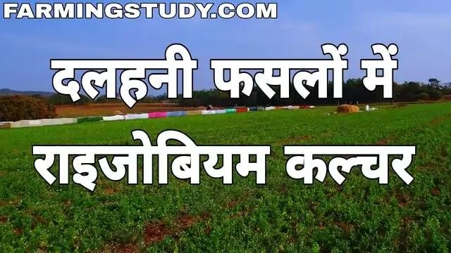 राइजोबियम कल्चर (rhizobium culture in hindi) किसे कहते हैं, दलहनी फसलों में राइजोबियम कल्चर प्रयोग क्यों एवं कैसे किया जाता है इसकी प्रयोग विधि बताएं