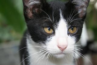 Kucing kampung hitam putih
