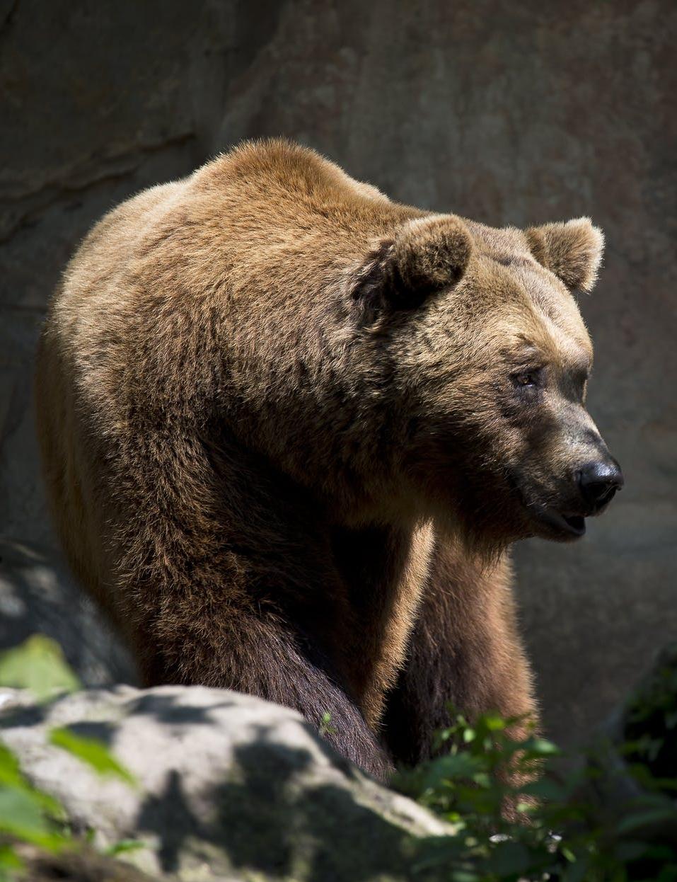 Ciri Ciri Hewan Beruang : hewan, beruang, Hewan, Endemik, Amerika, Serikat
