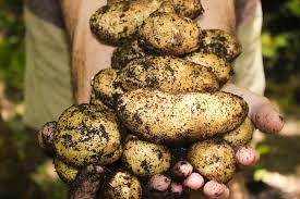 आलू की खेती कैसे करें और अच्छी पैदावार कैसे ले