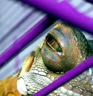 Cara Mengobati Mata Iguana Bengkak atau Berair