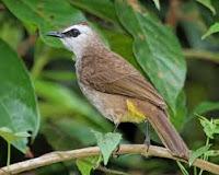 Burung Trucukan atau Jogjog