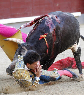 Bull fighting accident as bull gores young bullfighter
