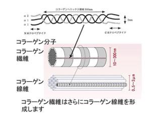 コラーゲン繊維