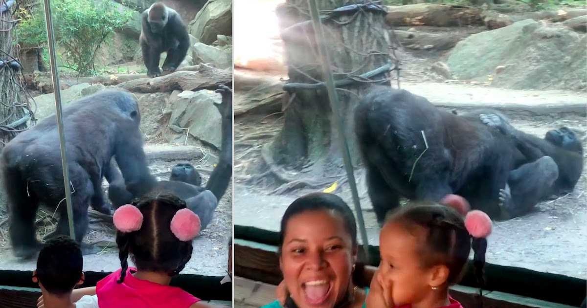 Parents In Shock After Gorillas Engage In Oral Sex In Full View Of Visitors At The Bronx Zoo