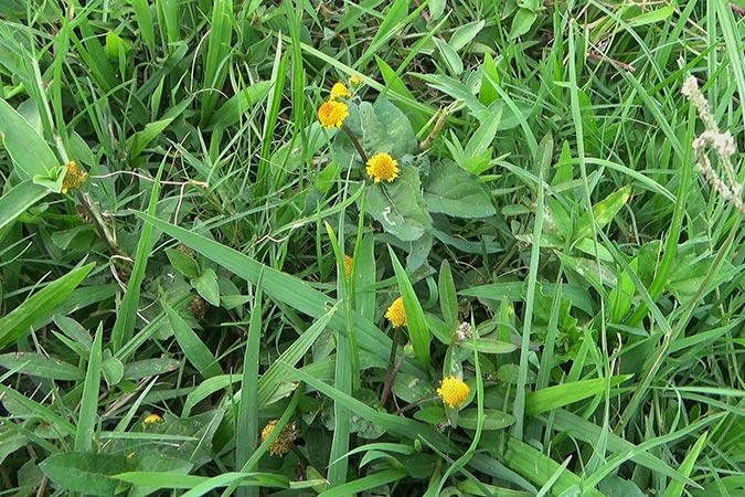 Dlium Jobang (Acmella ciliata)