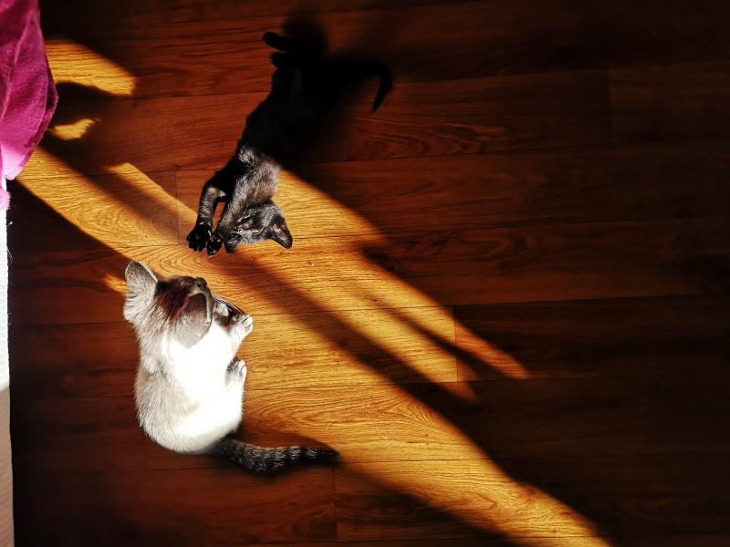 Ripley et Risotto deux chatons