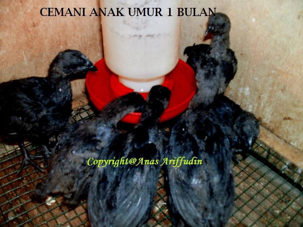 prospek usaha budidaya dan ternak ayam cemani masih bagus dan menggiurkan karena harganya yang relatif tinggi dari pada beberapa ayam jenis lain