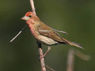 Photo of a male Purple Finch on a twig