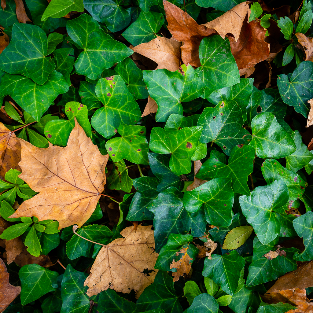 a photo of dry autumn leaves and green ivy in central park new york city