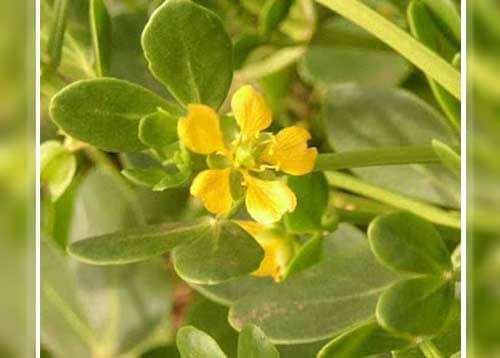 فوائد نبات القرمل أو عشبة الهرم