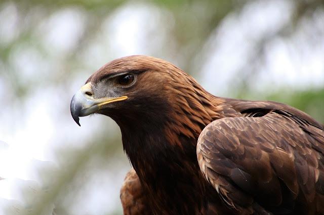 Contoh Gambar burung elang