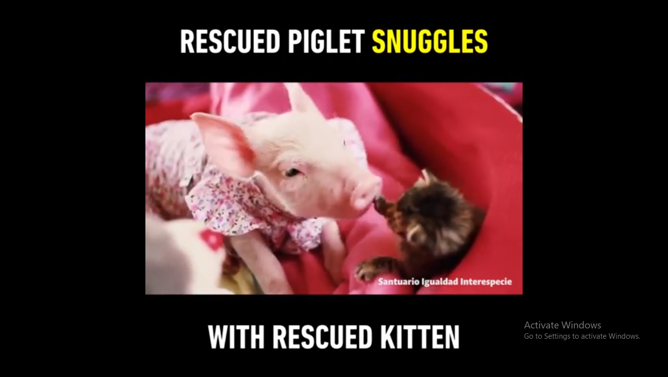 Laura the pig was rescued from a meat factory and placed with Marina the orphaned kitty