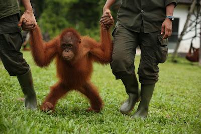 Escola de Orangotangos