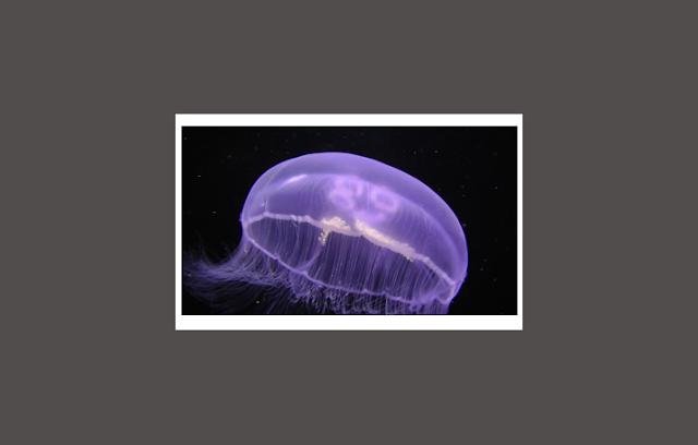Coelenterata sebagai Invertebrata