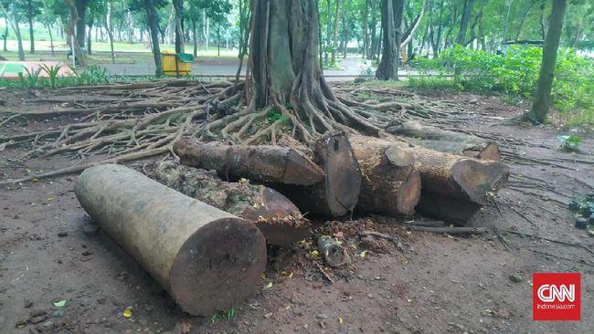 Misteri Keberadaan Pohon Mahoni di Proyek Revitalisasi Anies