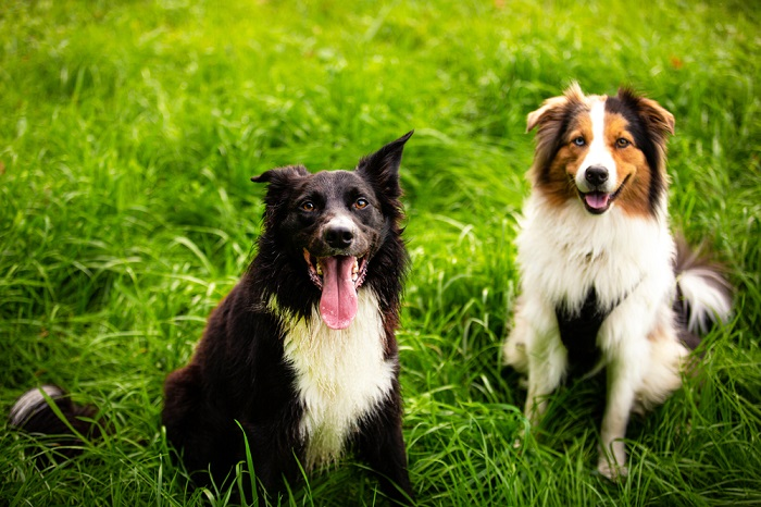 Collie 5 Breeds of Dogs Based On Your Personality & Needs