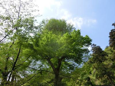 御霊神社の新緑